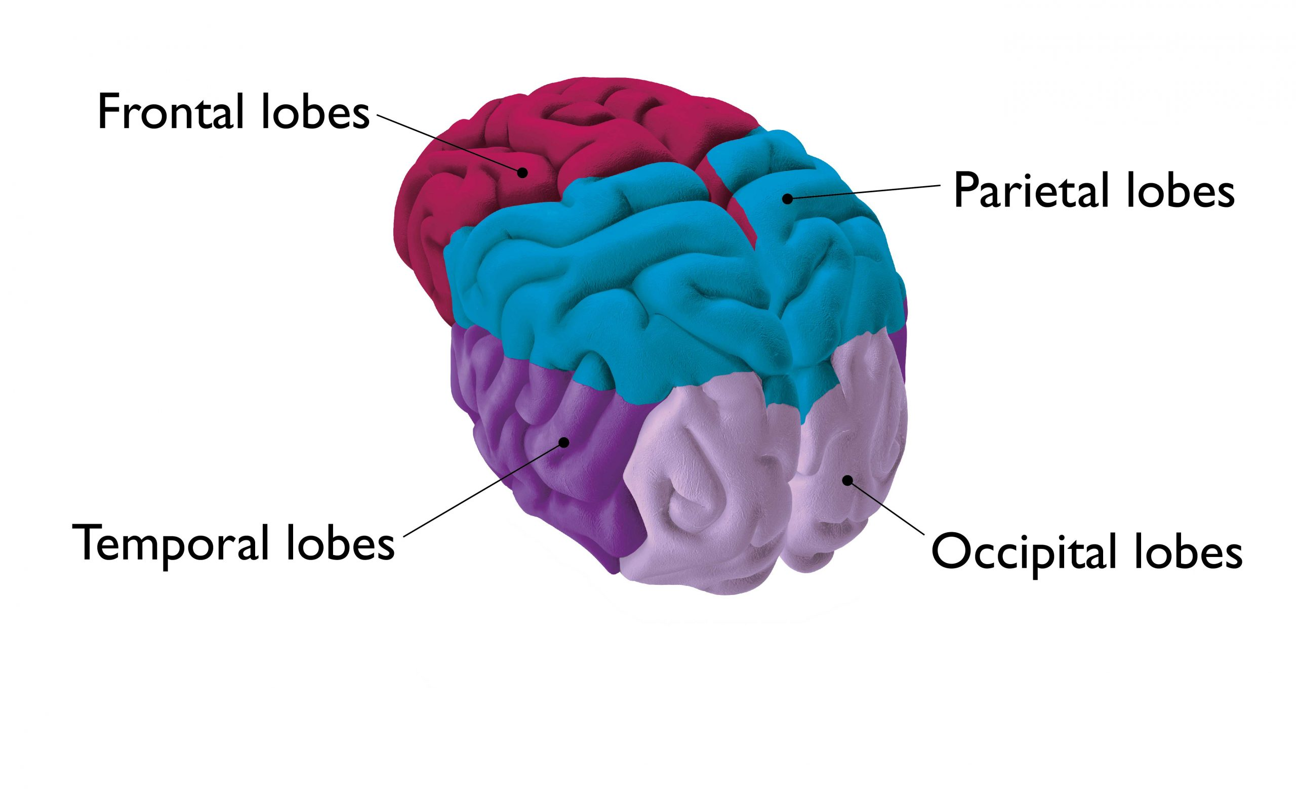 The lobes of the brain labelled