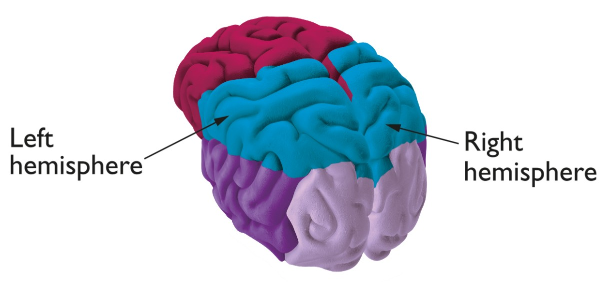 The 2 hemispheres of the brain labelled